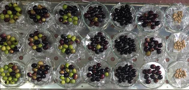 La calidad del AOVE y su relación con la genética de la variedad y la zona de plantación