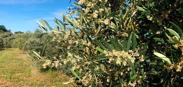 La innovación en la olivicultura potencia la fijación de población rural
