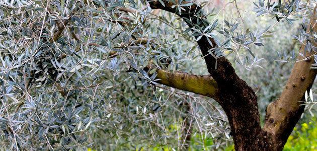 Prueban con éxito un tratamiento biológico para controlar la polilla del olivo