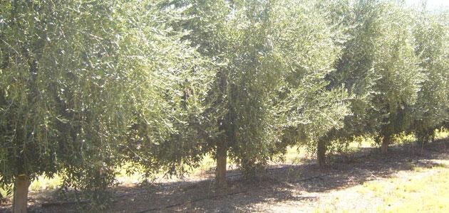 España cuenta con los olivares más productivos del mundo, según un estudio