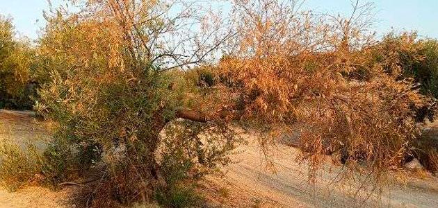 El manejo integrado de enfermedades reduce la incidencia de verticilosis en el olivar