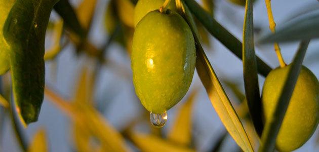 El cambio climático provocará una pérdida de producción de aceituna en Andalucía