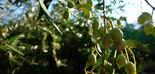 Expertos europeos estudian prácticas agrícolas más sostenibles para abordar las plagas en el olivar