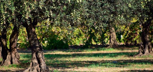 APAG Extremadura Asaja estima pérdidas de 80 millones de euros en la campaña oleícola