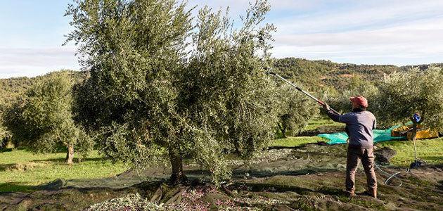 La FCAC prevé que la producción de aceite de oliva descienda un 33% en Cataluña