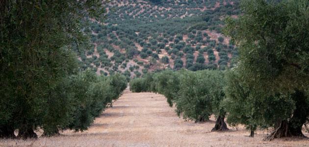 Un trabajo de investigación aborda la competitividad del sector oleícola de Jaén