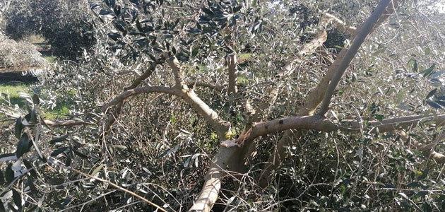 Las pérdidas en el olivar por la borrasca Filomena en Aragón y Cataluña