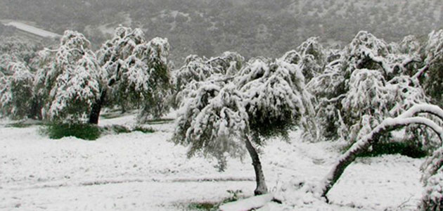 COAG pide un plan de recuperación del olivo para las hectáreas dañadas por Filomena