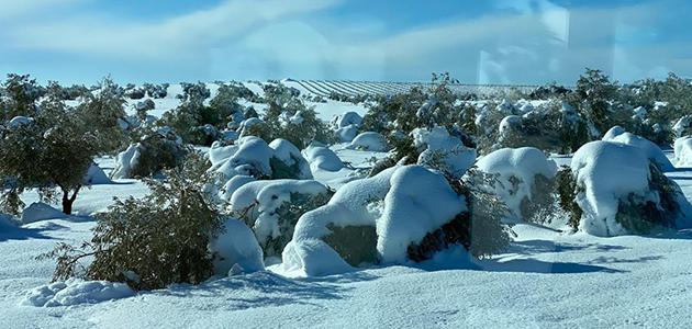 El temporal de nieve deja pérdidas de 12 millones de euros en el olivar madrileño