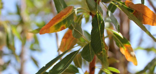 Nueva campaña de suministro de productos fitosanitarios en Baleares para combatir la Xylella fastidiosa