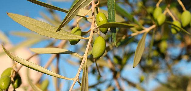 Grecia analiza mediadas estructurales para apoyar a los productores de aceite de oliva