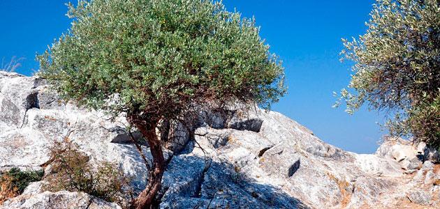 La CE prevé que la producción europea de aceite de oliva descienda un 1,4% esta campaña
