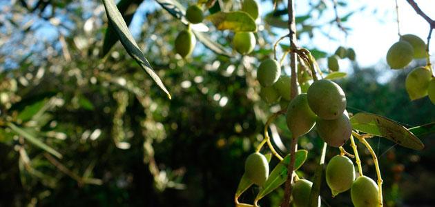 Grecia desarrollará un plan estratégico para impulsar su producción de aceite de oliva