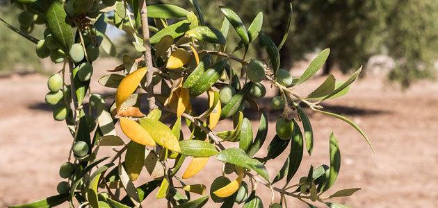 Diseñan una estrategia integrada para el control de enfermedades del olivo