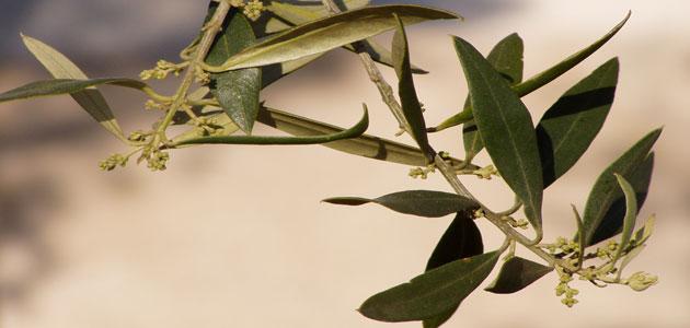 El proyecto Innoleaf transformará la hoja de olivo en ingrediente innovador para la nutrición animal