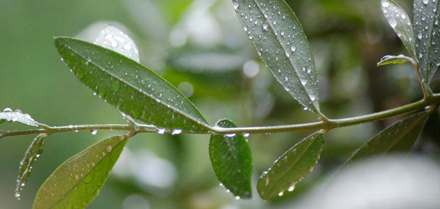 El COI y Ciheam organizan un curso sobre patógenos del olivo