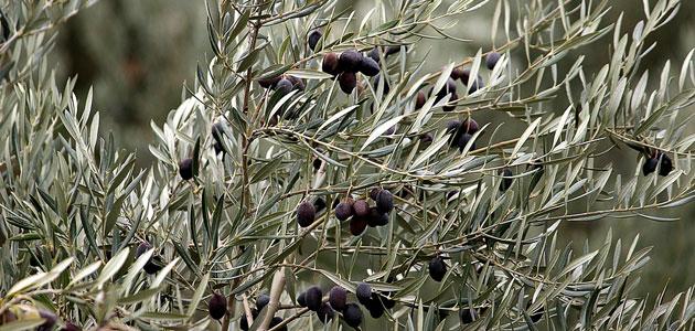 El Gobierno trasladará a Bruselas la situación del aceite de oliva y la aceituna de mesa