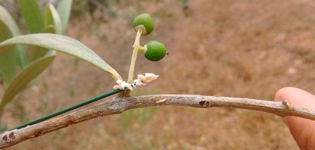 Hormigas contra dos plagas del olivo