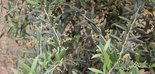 Estudios del Ifapa constatan que el ambiente influye más que la variedad de olivo en el patrón de acumulación de aceite