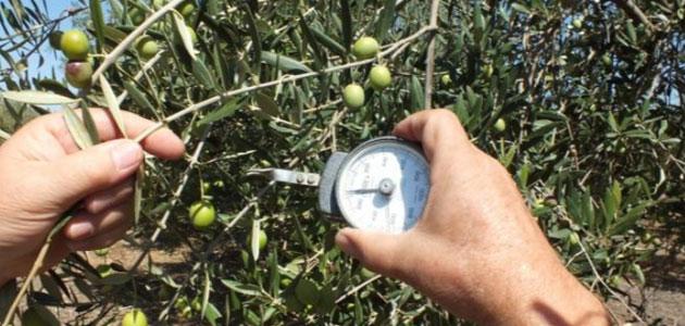 Innovaciones en el cultivo del olivo