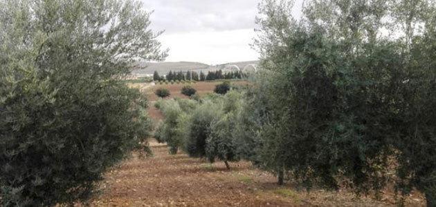 ¿Cómo se comportan las variedades de olivo en diferentes ambientes?