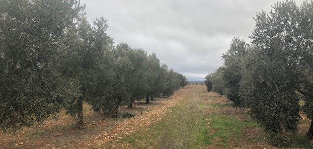 El olivar moderno genera el 38% del aceite de oliva elaborado en nuestro planeta, según un estudio