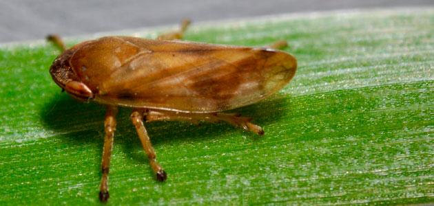 Los insectos que propagan la Xylella recorren distancias mayores de lo que se pensaba