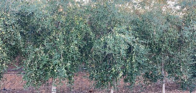 Inteligencia artificial para la gestión de plagas del olivar