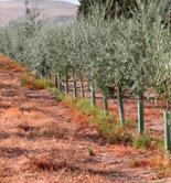 Identifican genes del olivo relacionados con su crecimiento