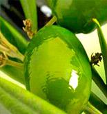 Italia prevé que la producción de aceite de oliva aumente un 46% esta campaña