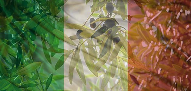 Italia prevé que su producción de aceite de oliva aumente un 75% esta campaña