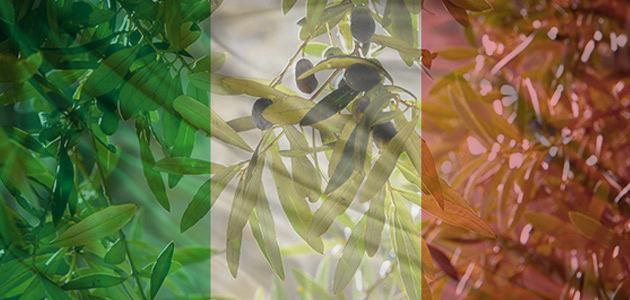 Aumentan un 43,1% las existencias de aceite de oliva en Italia