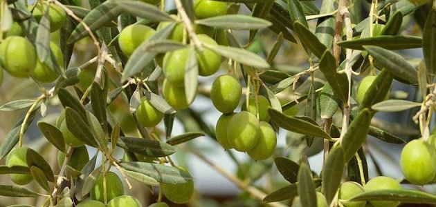 Nuevos programas de apoyo al sector oleícola italiano