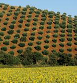 El olivar ocupa el 57,9% de la superficie total de cultivos leñosos en Italia