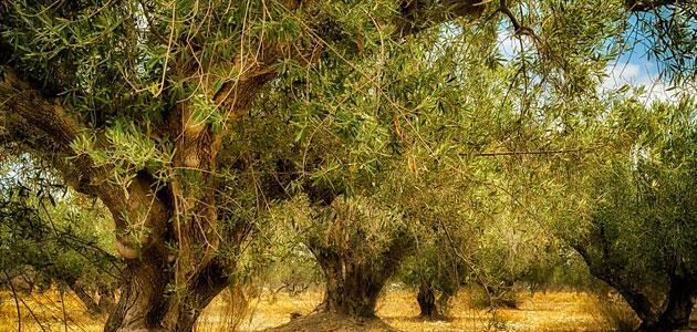 La producción de aceite de oliva en Italia, en mínimos históricos