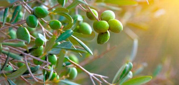 Italia Olivicola prevé una ligera recuperación de la producción italiana de aceite de oliva en la campaña 2021/22
