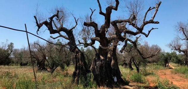 Italia Olivicola calcula que se ha perdido el 10% de la producción oleícola italiana por la Xylella fastidiosa