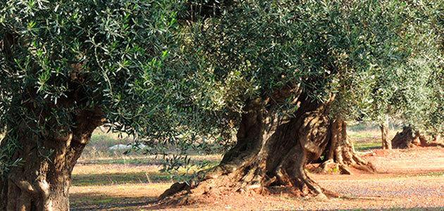 El Gobierno y los olivicultores italianos buscan acciones concretas para relanzar el sector