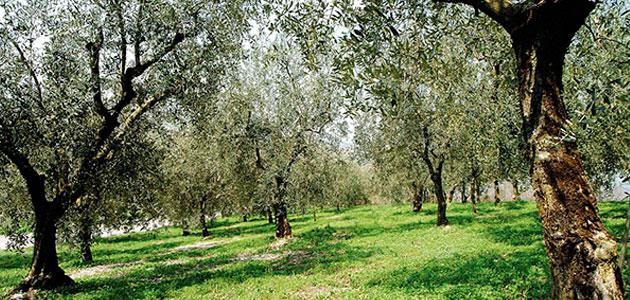 Italia pone en marcha un plan extraordinario para luchar contra la Xylella fastidiosa
