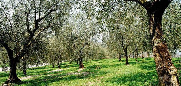 Regeneración del paisaje, contención estricta y aceleración de inversiones, prioridades del Gobierno italiano ante la Xylella