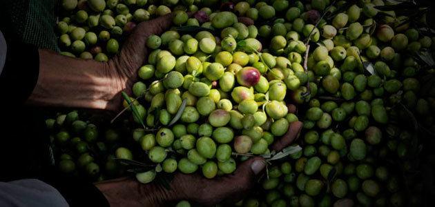 Italia espera que su producción de aceite de oliva aumente un 89% en la campaña 2019/20