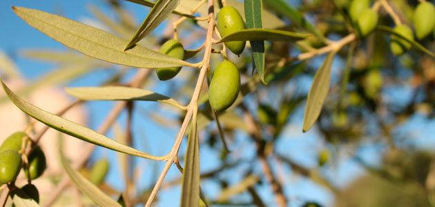 El Ismea prevé que la producción italiana de aceite de oliva aumente un 83,8% esta campaña