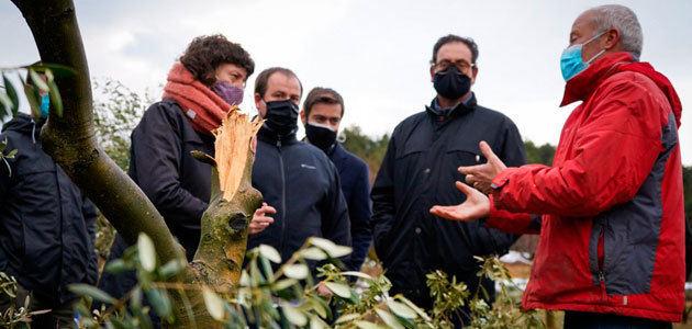 Cataluña cifra en más de 46.000 hectáreas la superficie de olivar dañada por el temporal