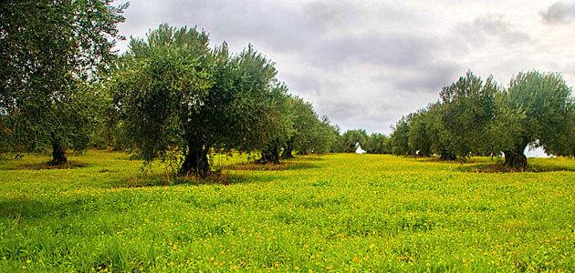 Madrid acogerá en junio la VI Jornada del Grupo de Olivicultura SECH