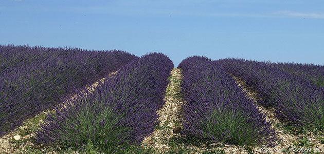 El lavandín se reafirma como cultivo compatible con el olivar