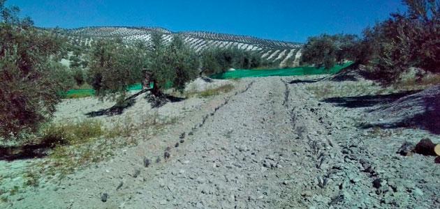 El equipo cordobés del proyecto europeo Diverfarming siembra lavandín entre las calles del olivar