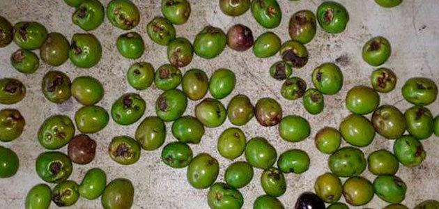 Detectan la presencia de la lepra del olivo en Australia