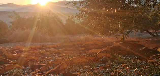 La mayoría de las almazaras de la DOP Sierra Mágina ya apuestan por el AOVE de cosecha temprana