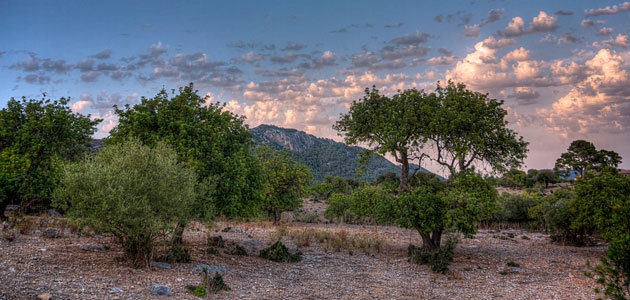 Baleares ha detectado 144 resultados positivos de Xylella fastidiosa en olivo
