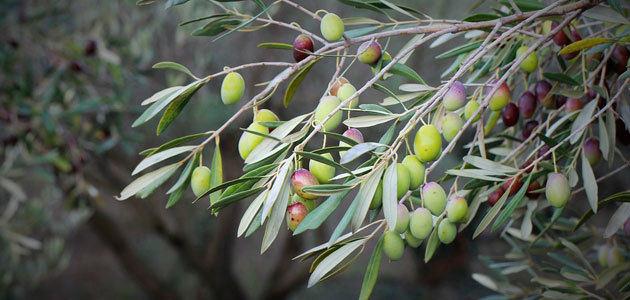 El MAPA prevé una producción de 1,23 millones de toneladas de aceite de oliva esta campaña, un 31,7% menos